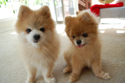 كلاب صغيرة  كلاب كيوت كلاب 84979.imgcache