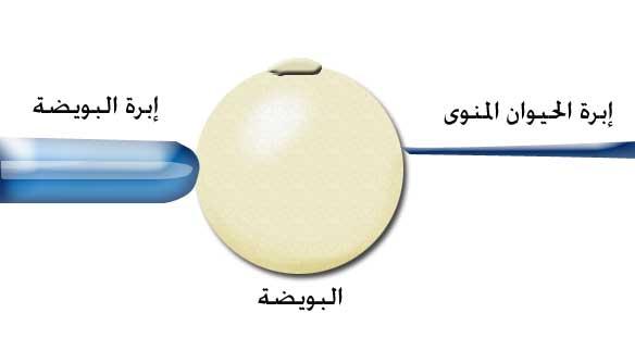 صورة ماهو دليل تلقيح البويضة , اعراض تلقيح البويضة