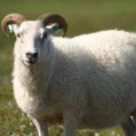 رؤية خروف في المنام , مشاهدة الخراف بالحلم
