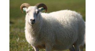 صور رؤية خروف في المنام , مشاهدة الخراف بالحلم