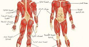 عدد العضلات في جسم الانسان