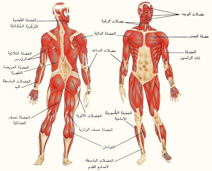 صور عدد العضلات في جسم الانسان