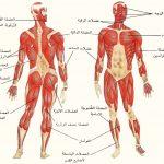 كم يبلغ عدد العضلات في الجسم , تعرف على عدد عضلات جسم الانسان