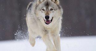 صورجميله عن الذئب