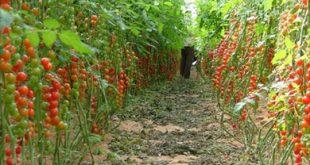 صورة الزراعة التجارية مصطلح