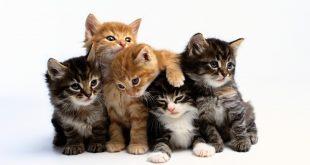 صور وصف حيوان القط