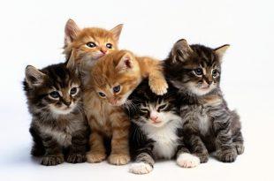 بالصور وصف حيوان القط 20151201133 310x205