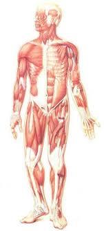 بالصور كم يبلغ عدد العضلات في الجسم , تعرف على عدد عضلات جسم الانسان 20160702 12