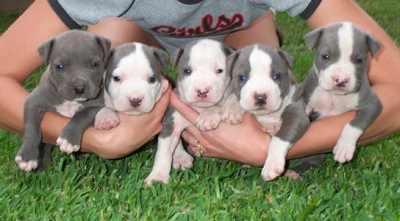 صغار كلاب البيتبول