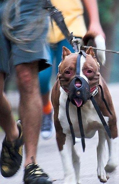 كلب بيتبول مكمم