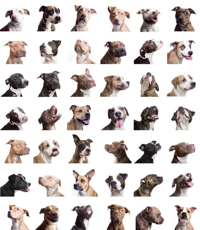 انواع كلاب البيتبول