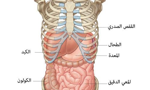 صوره ين يقع الكبد في جسم النسان