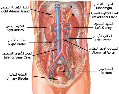 صور مكان وجود المراره في الجسم