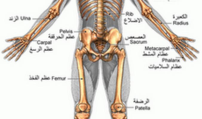 صور كم عدد العظام الموجودة في جسم النسان