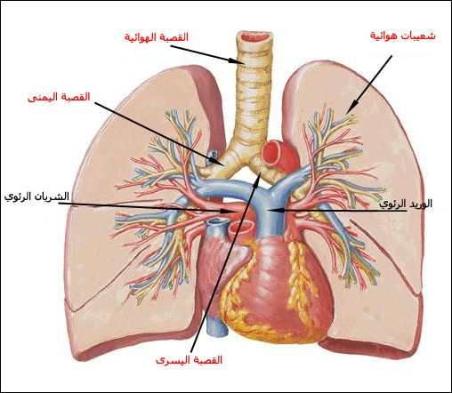 صور مقال علمي عن الجهاز التنفسي