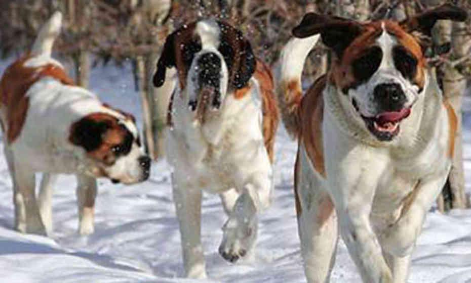 صور اشرس كلاب العالم بالترتيب