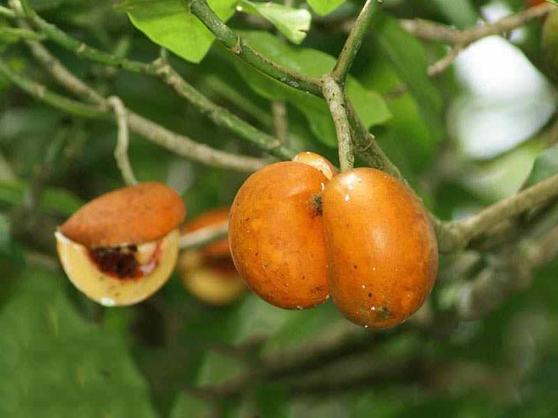 صورة عشبة تفاحة ادم للحمل