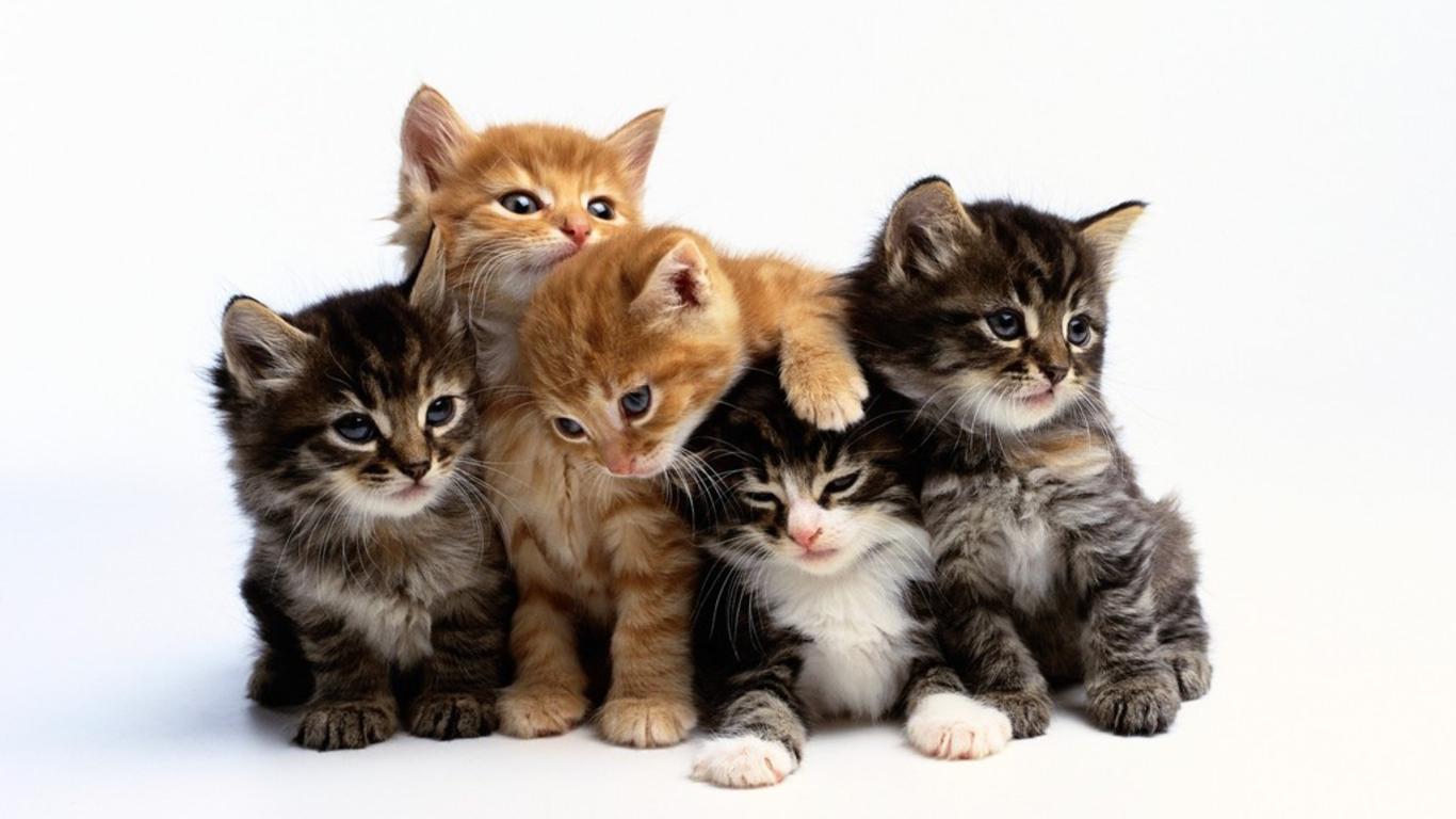 صورة وصف حيوان القط