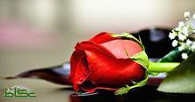 صور ايتها الوردة والريحانة والياقوتة كلمات