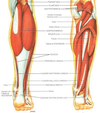 صورة عدد عضلات الجسم