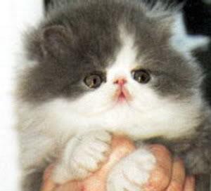 صور قطط رائعة drbdmg.jpg