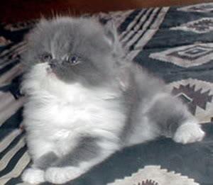 صور قطط رائعة figaro2.jpg
