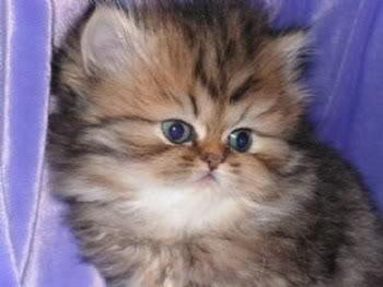 صور قطط جميلة 05287190706797_2.jpg