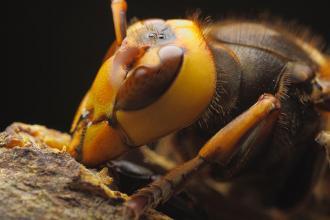 صور عدد عيون النحله