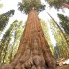 صور كم يبلغ طول اكبر شجرة في العالم