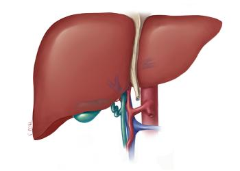 صورة وظائف الكبد المتعددة في جسم النسان