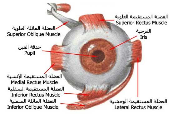 صور من هو اول من شرح تركيب العين