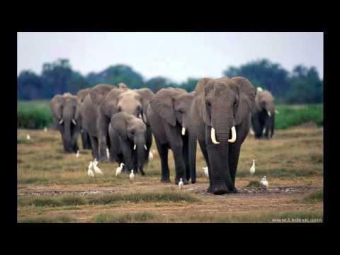 صورة ما هو صوت الفيل