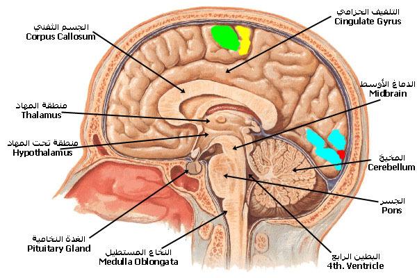 صور الحواس الخمس في الدماغ