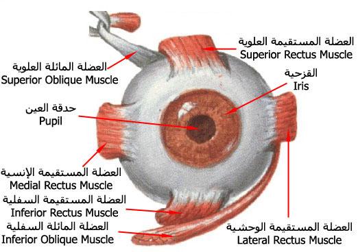 صورة مكونات عين الانسان بالتفصيل