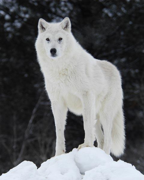 صوره الذئب الابيض بالصور