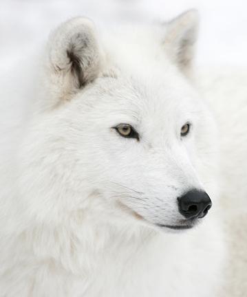صور الذئب الابيض بالصور
