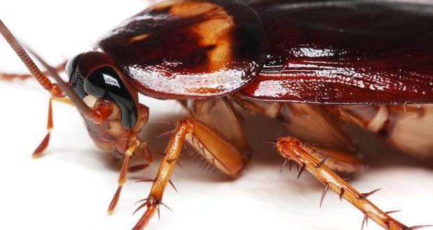 صور كيف تقضي على الصراصير