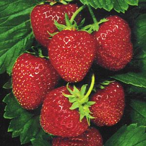 صور وصفة عصير الفراولة لتنظيف الدم