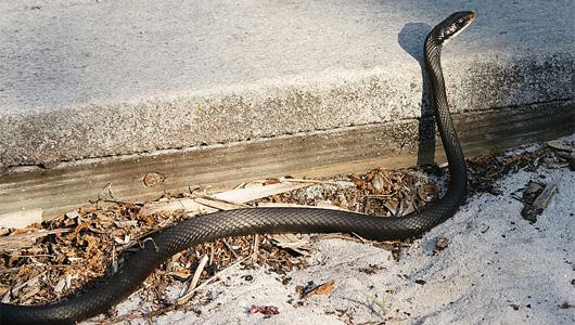 صورة عن الثعابين الحيات الاحن