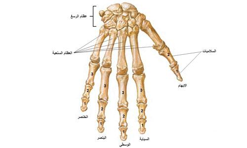 صور كم عضلات جسم الانسان، عضلات الجسم