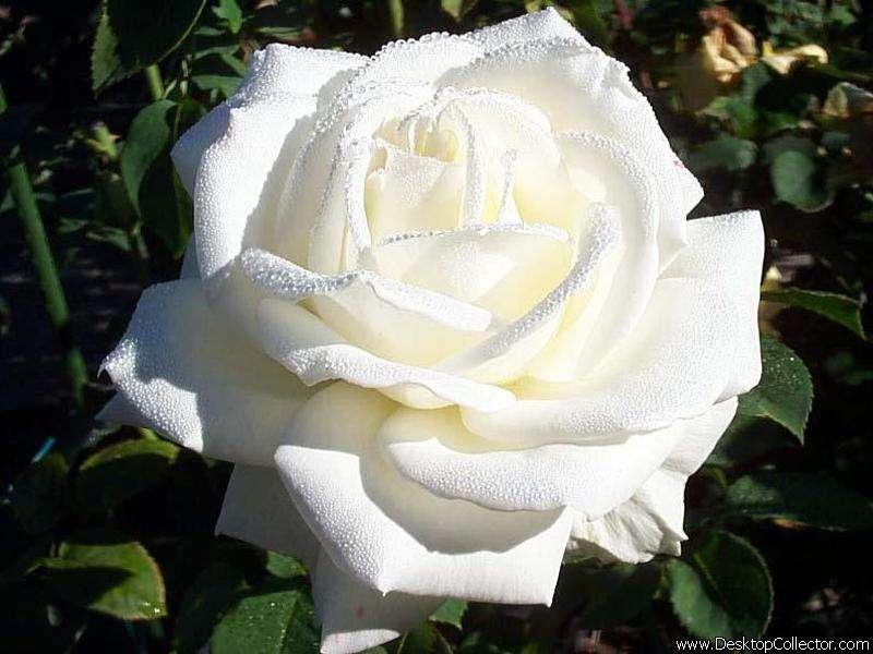 صورة مجموعه مختاره من  اجمل وردة