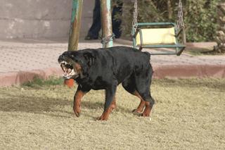 صور اخطر كلب فى العالم