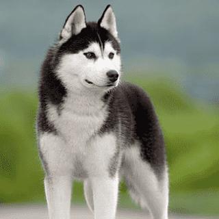 هسكى سيبيرى  Siberian Husky