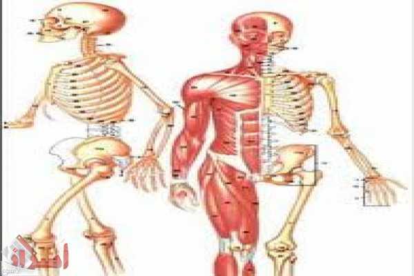 صور كم عدد اعضاء الجسم