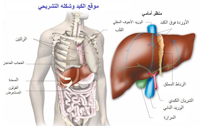 صور دور المرارة في جسم