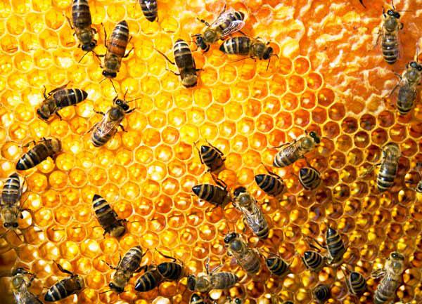 صور معلومات عن خلية النحل , معلومات مهمه عن النحل