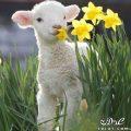 صور خرفان بمناسبة عيد الاضحى Sheep خروف العيد 131903664510.jpg