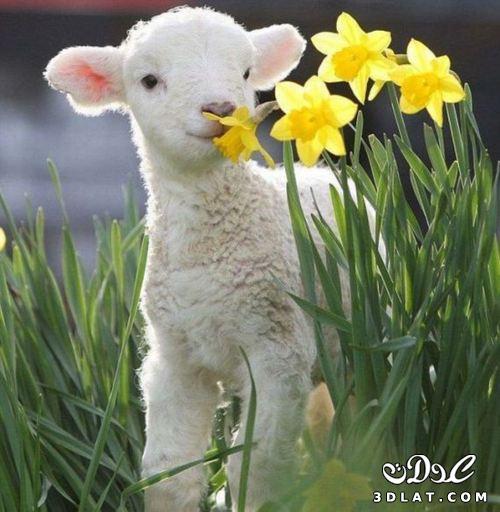 صور خرفان بمناسبة عيد الاضحي Sheep خروف العيد 131903664510.jpg