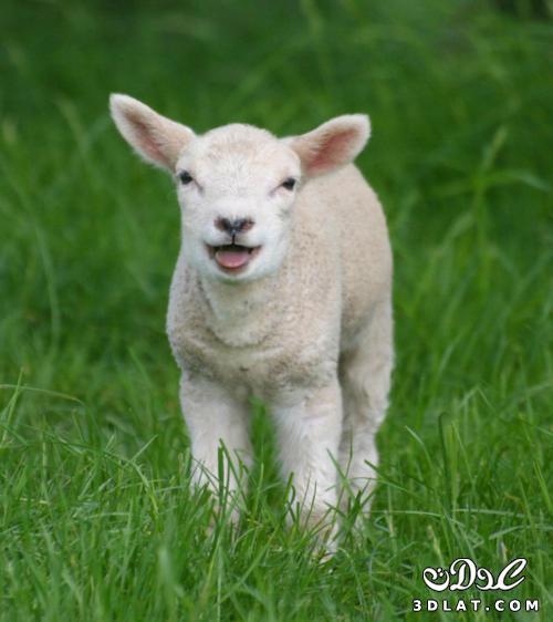 صور خرفان بمناسبة عيد الاضحي Sheep خروف العيد 131903664515.jpg