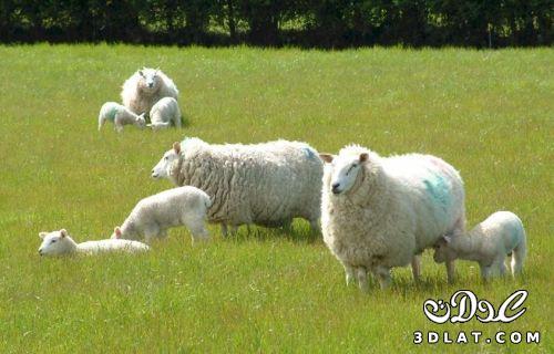صور خرفان بمناسبة عيد الاضحي Sheep خروف العيد 131903664516.jpg